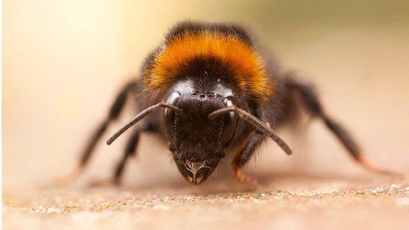 Породы пчел. Их краткая характеристика и особенности породы.