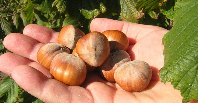 Бизнес по выращиванию фундука