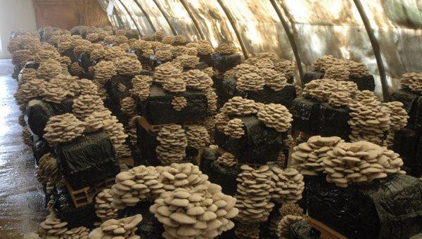 Бизнес по выращиванию грибов